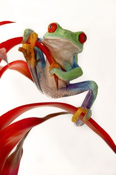 """pretty little frog: """"Hanging on"""" by Val Saxby Funny Frogs, Cute Frogs, Beautiful Creatures, Animals Beautiful, Cute Animals, Reptiles And Amphibians, Mammals, Red Eyed Tree Frog, Frog And Toad"""