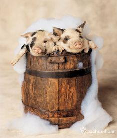 Bath Boys (Kune Kune Pig) - Barrels of fun for Bubbles and Pudding. (pic by Rachael Hale) Just love this photographer, what she captures is just amazing. Cute Baby Animals, Funny Animals, Kune Kune Pigs, Animal Pictures, Cute Pictures, Teacup Pigs, Sneak Attack, Baby Pigs, Pet Pigs