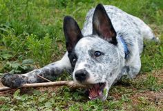 Koda the Cattle Dog Mix | Puppies | Daily Puppy