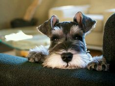 Image result for types of haircuts for miniature schnauzer