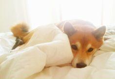 Shiba Morning. :)