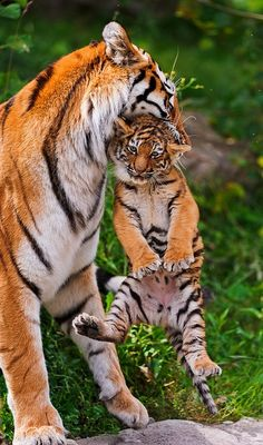 Mother Tiger and her Animals baby Animals Cute Baby Animals, Animals And Pets, Funny Animals, Wild Animals, Nature Animals, Beautiful Cats, Animals Beautiful, Simply Beautiful, Big Cats