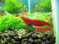4.Painted Fire  Red Shrimp Grade.