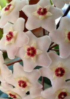 Hoya Carnosa - very unusual...look artificial... Beautiful