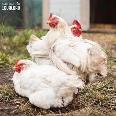 Tres corazones tan pequeños como una flor sin embargo son capaces de sentir grandes emociones  - - #equalitysanctuary #santuarioigualdad #animal #animallovers #animals #friendsnotfood #nature #farm #farmlife #farmanimals #crueltyfree #vegan #social #followme #nonprofit # # # # #rooster #hen #chicken #chick #roosters #poultry #birdsofinstagram  #broiler