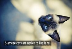 Siamese cats are native to Thailand. It is also illegal to leave the house without underwear on. It's odd as they would have no way of knowing in the first place. Siamese Cats, Cats And Kittens, Cat Shots, Oriental Cat, Facts You Didnt Know, Photo Displays, Thailand Travel, Beautiful Cats, Cool Places To Visit
