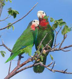 Abaco Parrots (Peter Mantle)