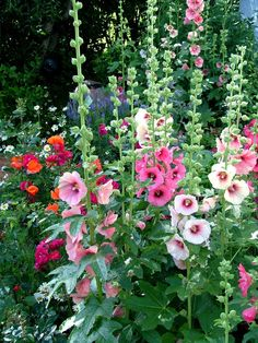 Hollyhock Country Garden cottage garden ideas Fill Your Sun-Drenched Garden With These Perennials That Love Lots of Light Beautiful Gardens, Beautiful Flowers, Beautiful Pictures, Hollyhocks Flowers, Growing Hollyhocks, Zinnias, Delphiniums, Gladioli, Orquideas Cymbidium