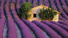 a lovely Tuscan cottage in a lush field of fragrant lavender....  Beautiful!!  Can you imagine the fragrance!