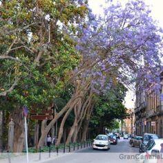 Jacaranda tree, Arucas