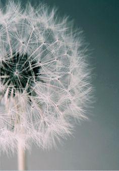 Postcard Alicia Bock - Dandelion Dream