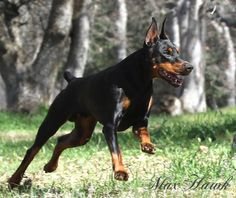 Max Hawk JAKE Chasing the local critters in the field today. Doberman Rescue, Doberman Love, Doberman Pinscher, Kinds Of Dogs, All Dogs, Doberman Shepherd, Raining Cats And Dogs, Service Dogs, Working Dogs