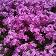 Azalea made a beautiful purple color in the flower beds.