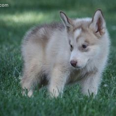 Alaskan malamute puppy<3