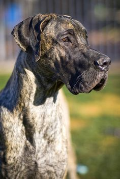 Great Dane. I want mom to get one so bad but she's refusing. Maybe I'll just buy one and drop it off at her house. She'll have no choice LOL