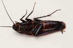 Smokybrown cockroach - Wikipedia, the free encyclopedia