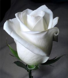 Gorgeous Rose Pictures