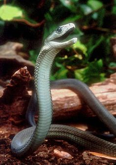 Black mamba - It is longest venomous snake in Africa. It is named for the black color of the inside of the mouth.