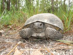 Like a baseball player stretching muscles and practicing skills during spring training, the gopher tortoise is emerging from winter dormancy and moving slowly and steadily through the landscape in search of greenery to eat and a new place to dig its burrow.  Look for gopher tortoises' distinctive domed brown shells and stumpy legs, as these land-dwellers make their way through Florida's open canopy forests and sandy areas. The Florida Fish and Wildlife Conservation Commission (FWC) asks…