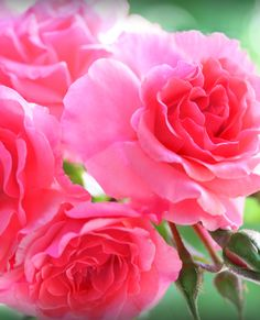 Pink cloud my pink hydrangea by theresahelmer on deviantart flora sweet spring full of sweet days and roses a box where sweets compacted lieese are roses from my garden beautiful pink roses from my garden mightylinksfo