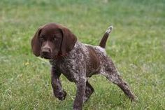 GSP pup working it....looks just like my Patches when she was a puppy.