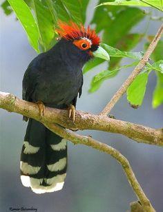 Rough-crested malkoha or Red-crested malkoha (Phaenicophaeus superciliosus)