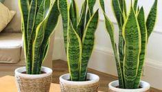 Deze kamerplanten zijn onmisbaar in een gezond huis   Pinterest ...