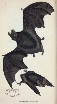Vespertilio Barbastellus. [Class 1. Mammalia, Order 1. Primates] From New York Public Library Digital Collections.