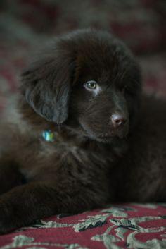 Love our new brown newfoundland dog ~ Nuuska