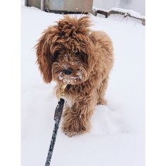 Face first in the snow!#snacksattacks #cockapoo #cockapoosofinstagram #uodogs