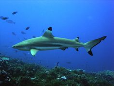 - * Black Tip Reef Shark * - These are easily identified sharks by the prominent black tip on their fins, (especially the first dorsal fin and the caudal fin). They are among the most abundant sharks inhabiting the tropical coral reefs of the Indian and Pacific Oceans -
