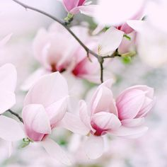 gartenpflanzen und bäume Magnolienbaum The post gartenpflanzen und bäume Magnolienbaum appeared first on The Trends - Perde Modelleri. Garden Care, Spring Colors, Spring Flowers, My Flower, Beautiful Flowers, White Flowers, Creature Comforts, Pretty Lights, Color Inspiration