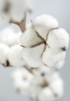 coton flower