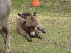 baby mini donkey via dtatt on flickr