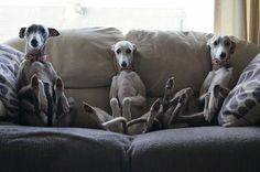 16 Reasons Whippets Are Not The Friendly Dogs Everyone Says They Are