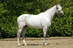 Z Online Auction - MARE : CHANTAL Z    IN FOAL DI CANTERO VAN TER HULST