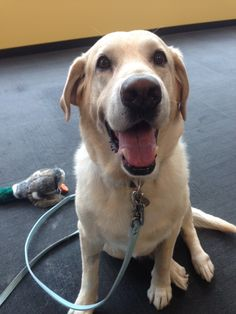 DJ, the Yellow Lab, is putting smiles on everyone's faces at #PetplanHQ today!