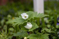 Oravankesäpesä: KUKASSA JUURI NYT. Herbs, Plants, Instagram, Herb, Plant, Planets, Medicinal Plants