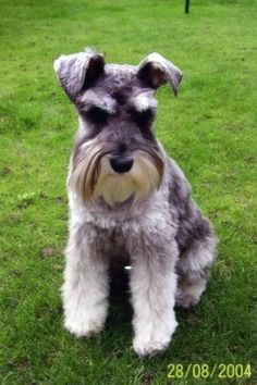 The Miniature Schnauzer was bred in 15th-century Germany for killing rats.  It is less noisy  quarrelsome than most terriers and is easy to train.  It does, however, still bark prodigiously  remains fairly nervous.  As the Miniature Schnauzer has gained in popularity, some indiscriminate breeders have allowed in inherited medical problems.  The Miniature Schnauzer is good with children and other dogs  comfortable in an urban environment.  It tolerates cold well, but not heat.