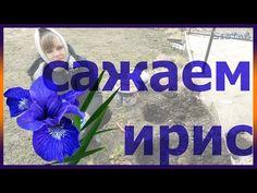 Как посадить ирис дома Посадка ириса Как выращивать и размножать ирис огород сад розарий цветник - YouTube