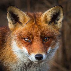 Red Fox by Bas van der Spek on 500px