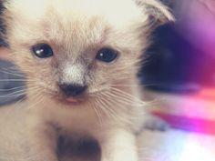 Shippo, chaton, kitten