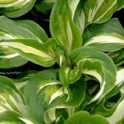 Hosta 'Mediovariegata' (undulata). Click image to learn more, add to your lists & get care reminders.    Other names: Wavy plantain lily, Hosta 'Mediovariegata' (undulata)    Genus: Hosta    Species: H. undulata var. undulata - H. undulata var. undulata forms ovate, twisted, rich green leaves marked creamy-white in the center, and funnel-shaped light purple flowers on stems.