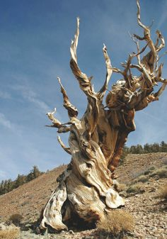 Methuselah, worlds oldest individual tree- almost 5000 years old. Located in Eastern California
