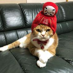 お正月 #チャッピー#ちゃっぴー#chappy#ちゃぴお#スコティッシュ#ScottishFold#ねこ#猫#cat#cats#愛猫#ねこ部#ねこのいる生活#猫バカ#猫好き#猫が好きな人間#めでたい猫