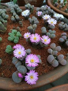Lithops & Succulent in various colour