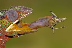 "Panther Chameleon eating a locust. ""Lunchtime"" by *AngiWallace on deviantART"