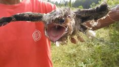predator bird trap★owl ★scooty red headed bulbul ★ Awesome Quick Traditi...