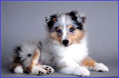 Perfect Blue Merle Puppy