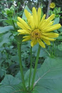 Cup Plant ~ Silphium perfoliatum